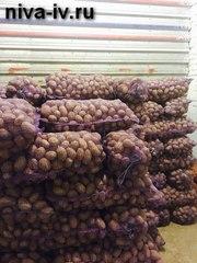 Оптовая и розничная реализация продовольственного картофеля