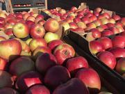 Яблоки оптом напрямую из Краснодара